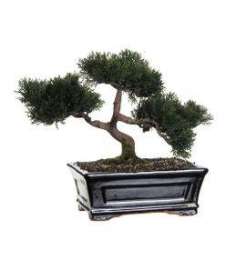 Bonsai Decorativ